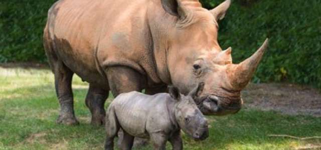 Standing Rhino mother and baby