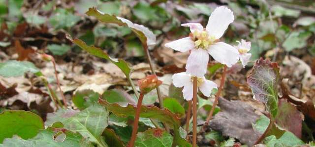 Rare plants Shortia