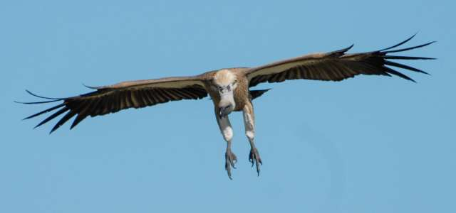 Whitebacked vulture conservation