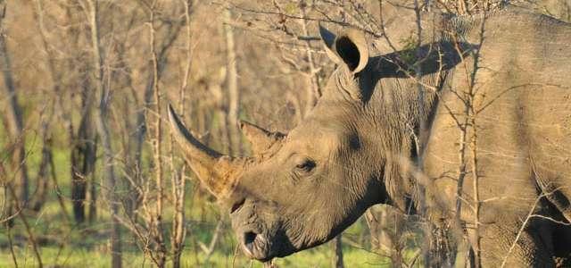 Southern White Rhinoceros | North Carolina Zoo