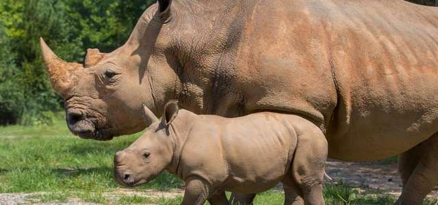 Mom Kit and Baby Bonnie Southern White Rhinos