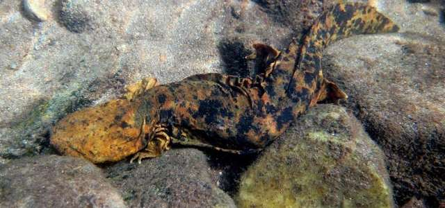hellbender on rocks