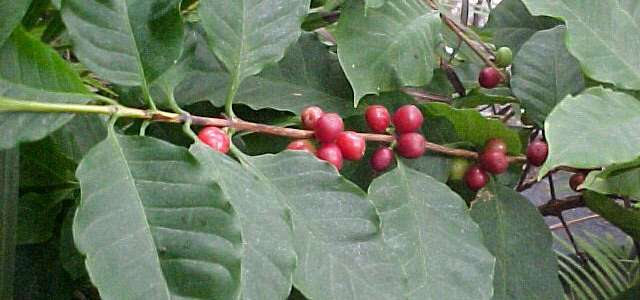 Coffee arabica fruit - Coffee Tree