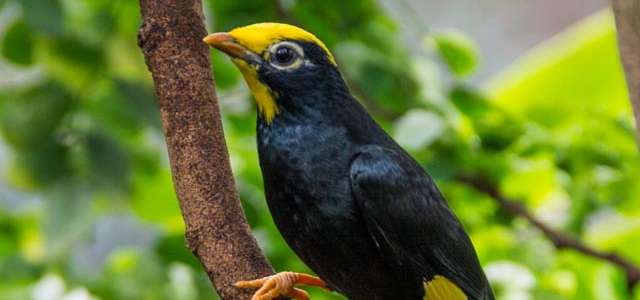 Golden-crested mynah on branch