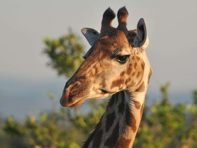 international giraffe conservation